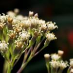 Blossom Stigmas