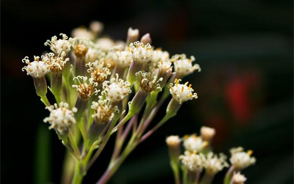 Blossom Stigmas One