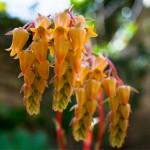 Hanging Succulent Blossoms