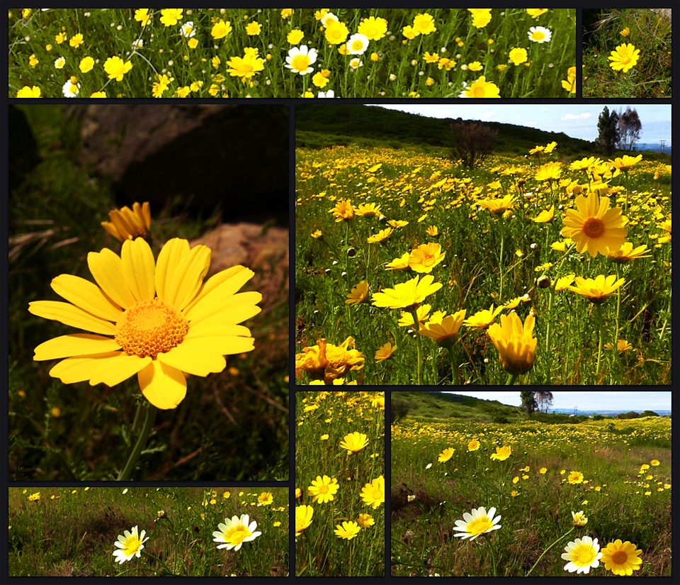 Running at the great race of agoura hills and xterra black mountain it was beautiful with golden yellow flowers in the green fields and blue skys wild daisy flowers izmirmasajfo