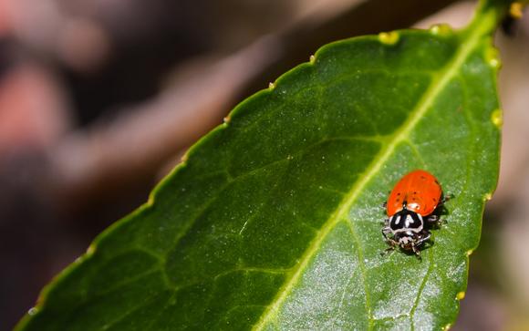 Ladybug on Nectarine Leaf
