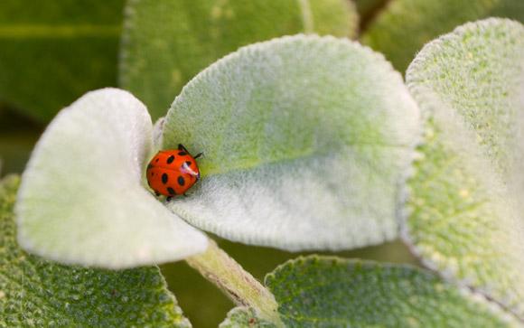 Ladybug in Sage