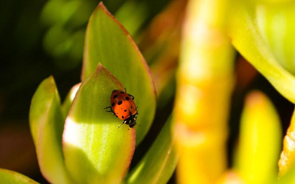 Ladybug in Sunlight