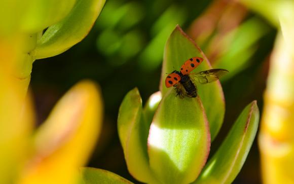 Ladybug Wings Spread