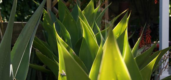 Sunlit Succulents