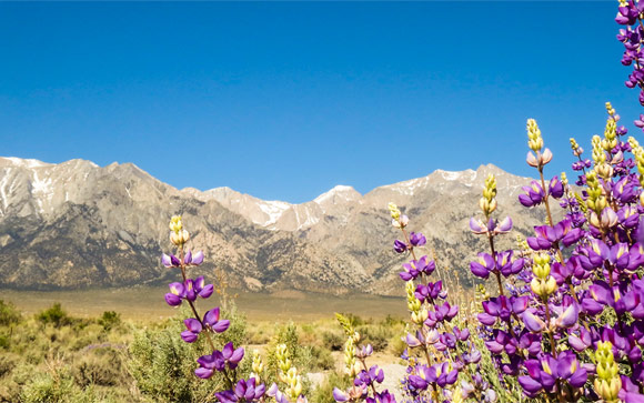 Purple Flowers with Mountains