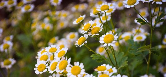 wild-daisys