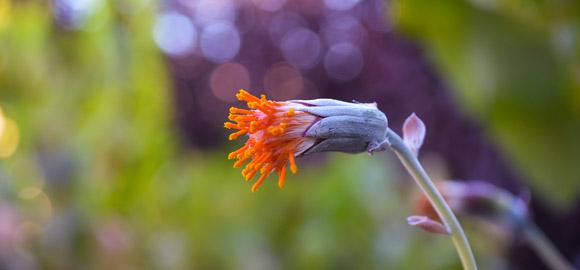 orange-succulent-stigmas-featured