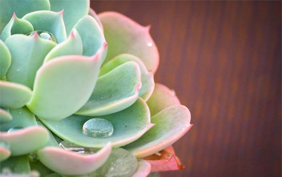 November Rain Succulent