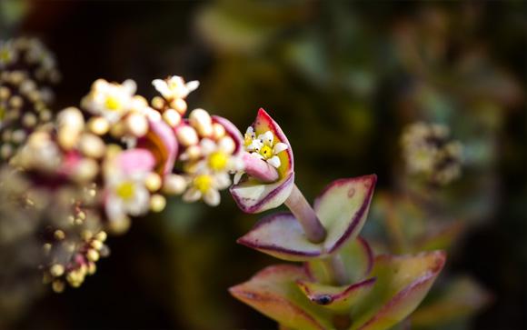succulent-blossom
