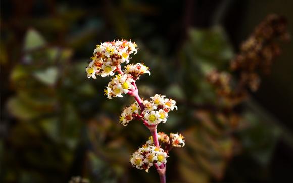 succulent-flowers