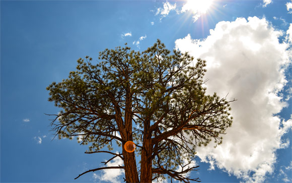 Bryce Pine Tree & Sun