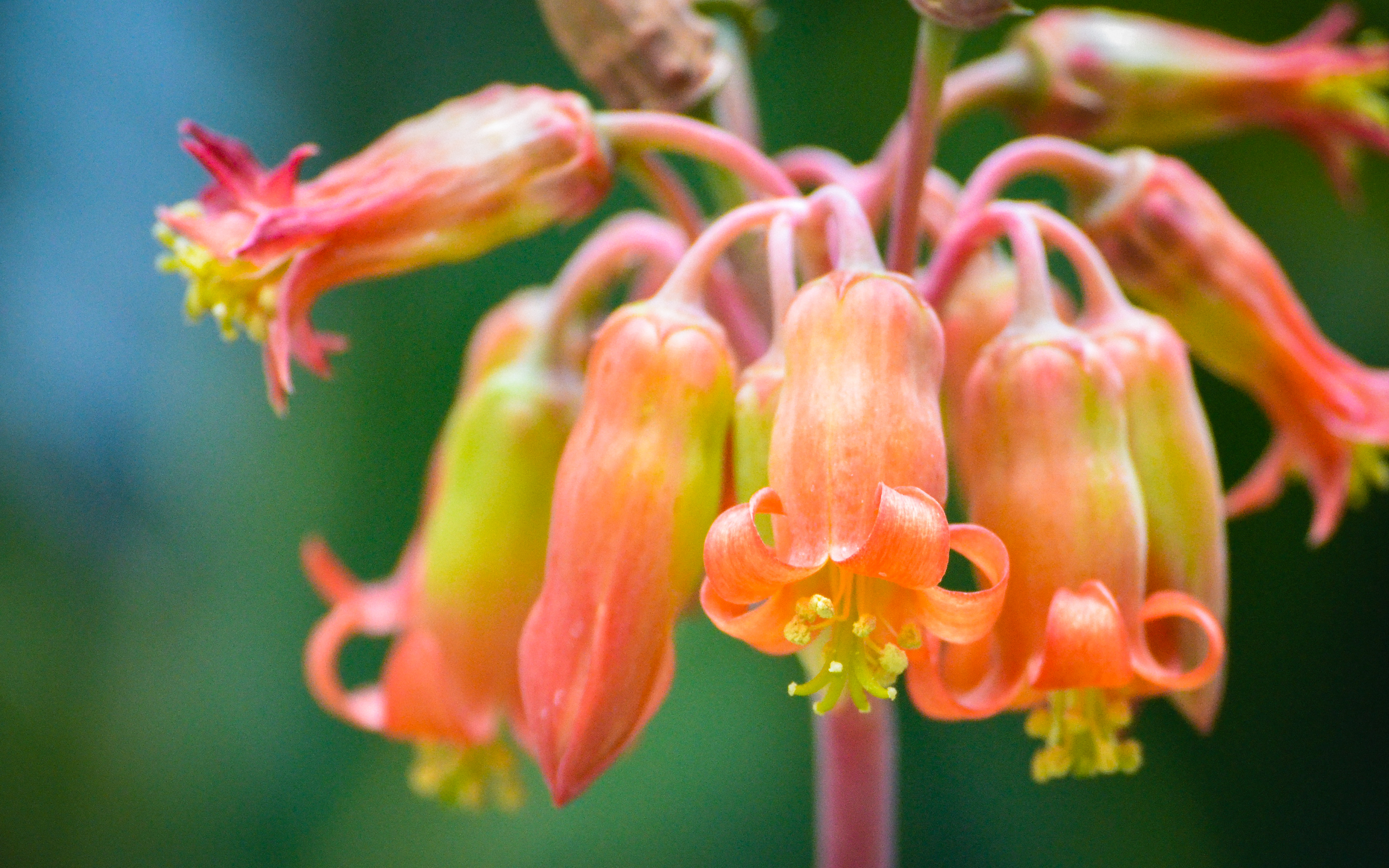 Hanging Succulent Flowers Photograph By Terry Majamaki