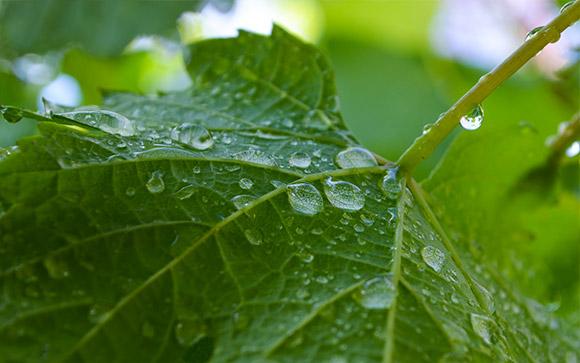 Grape Leaf Drops